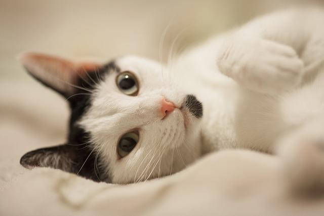 tratamiento paliativo para la disfunción cognitiva en gatos