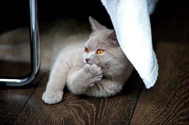 características físicas del gato British shorthair