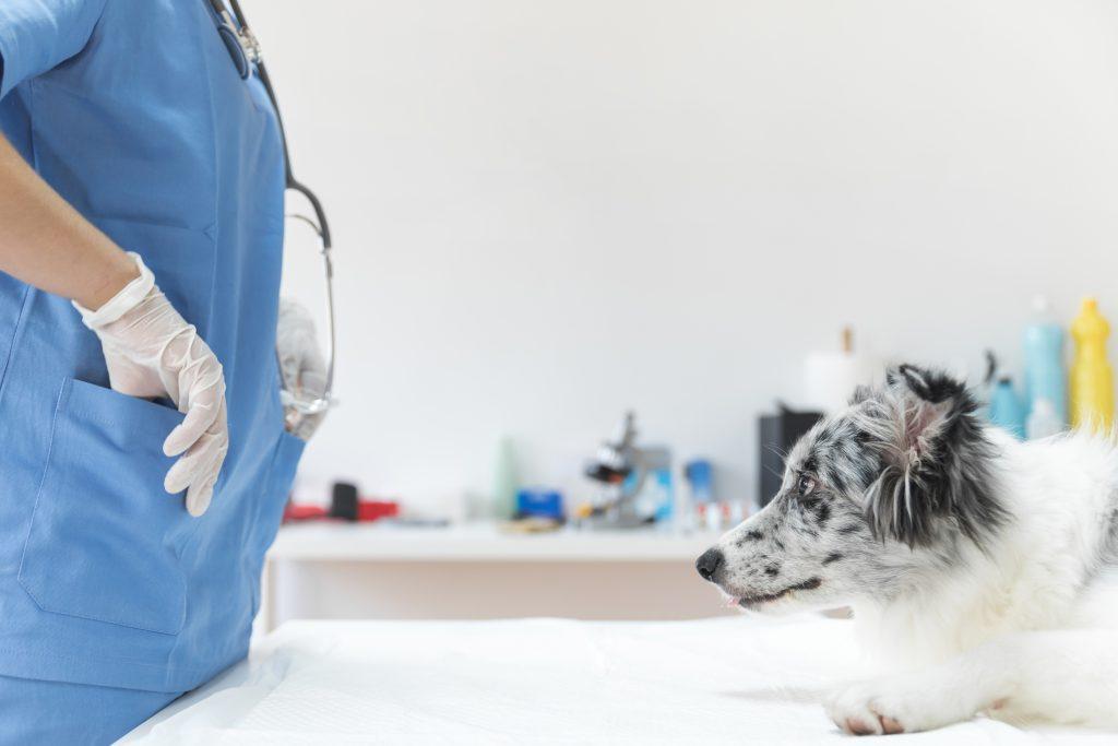 detección y tratamiento de la luxación de cadera en perros