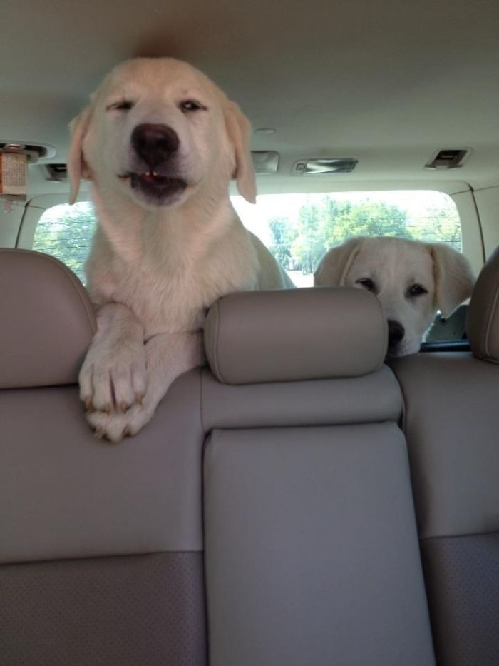 divertidas fotos de perros en coche