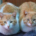 feromonas en gatos