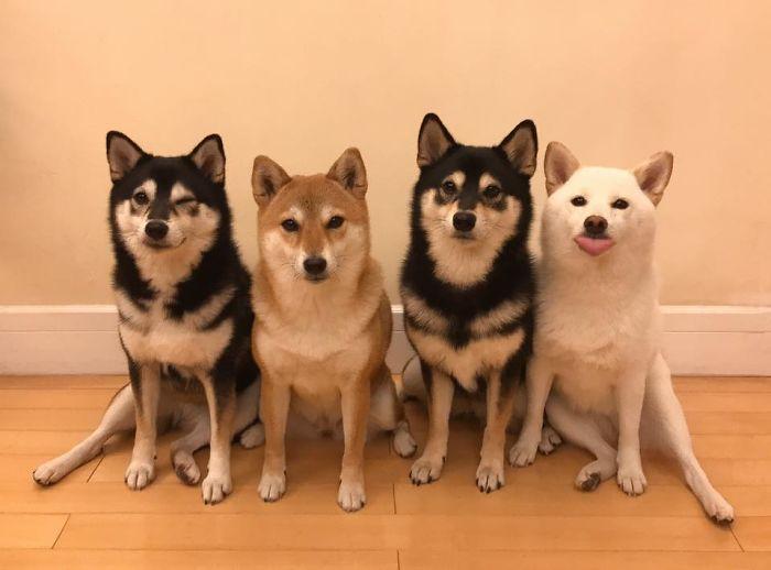 fotos de familia shiba inu