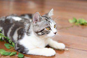 nepeta cataria, catnip,droga de los gatos o hierba gatera