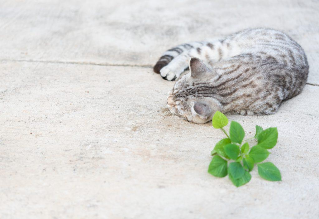 no es peligroso dar nepeta cataria a los gatos