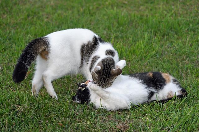 qué son las feromonas en gatos