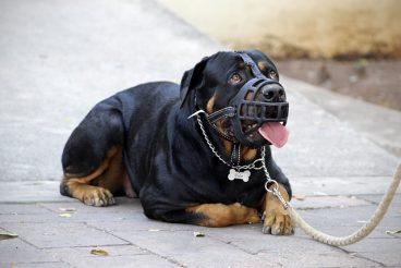cómo poner un bozal a un perro