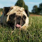 Datos curiosos de los Pugs o Carlinos