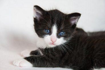 gatos con patas blancas