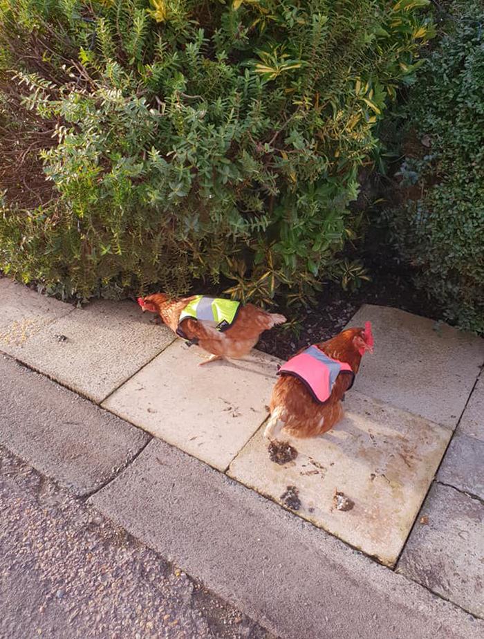 las gallinas con chalecos reflectantes