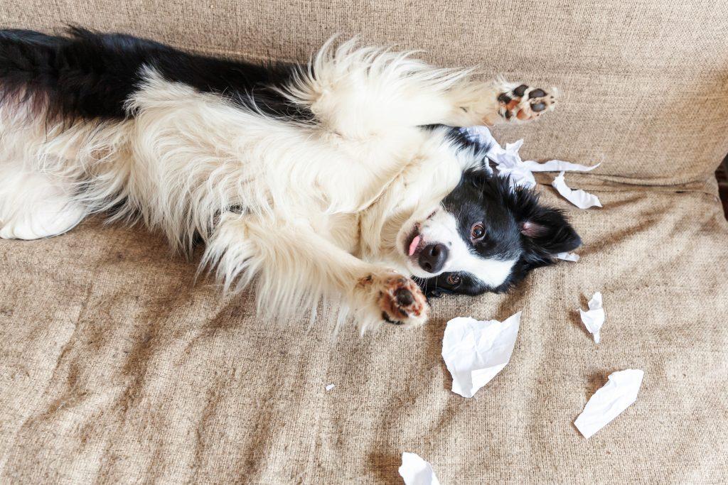 mi perro come papel por ansiedad por separación