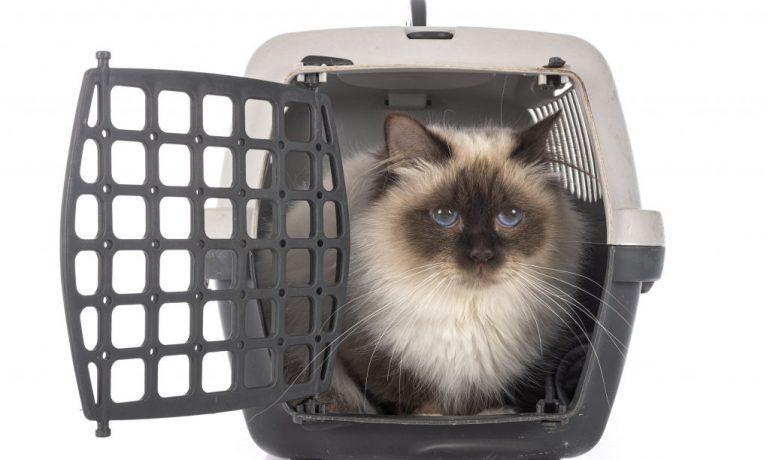 Pasos para acostumbrar al gato al transportín