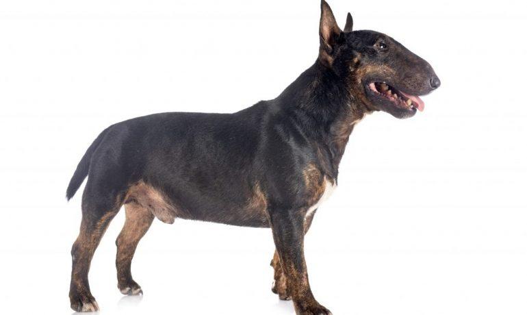 Perro Bull Terrier Miniatura