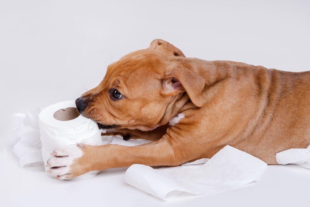soluciones si tu perro come papel