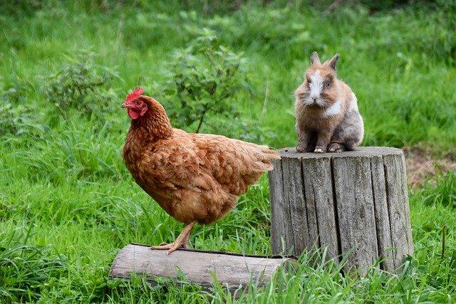 tener una gallina como mascota es posible