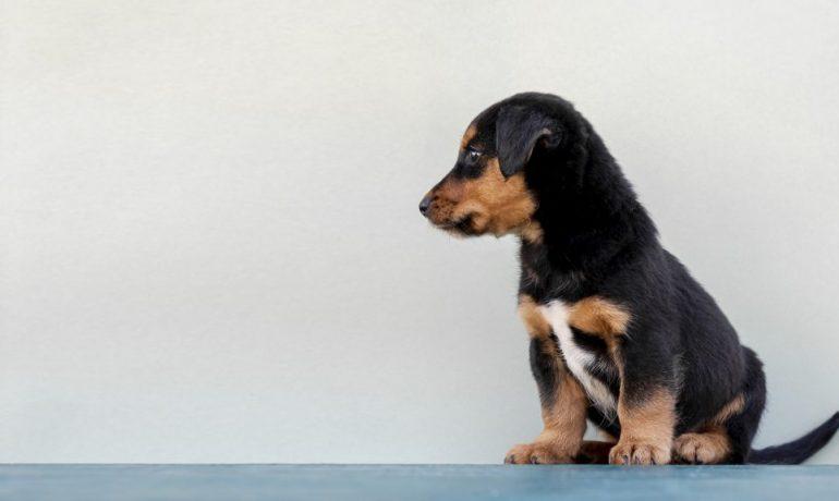 Cómo acostumbrar a un cachorro al empapador