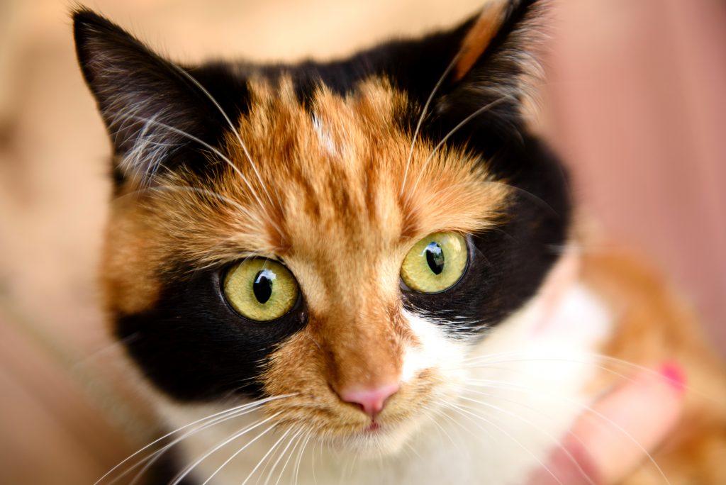 cuidados del gato Bobtail japonés