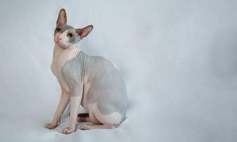 curiosidades del gato Sphnyx