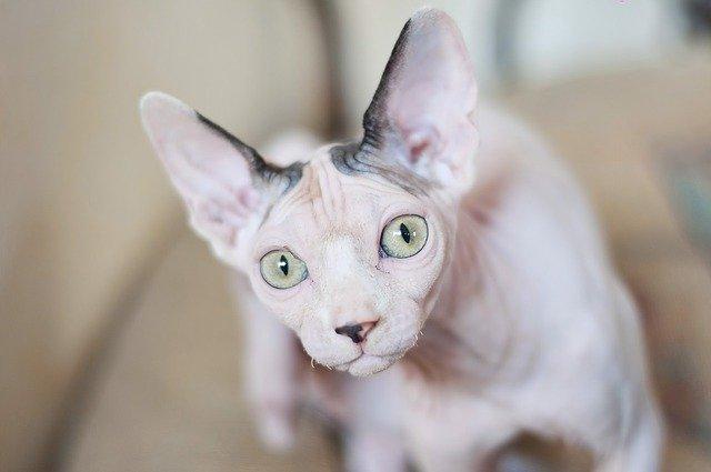 curiosidades sorprendentes del gato sphynx o esfinge