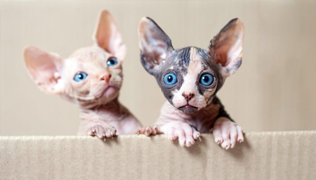 el gato sphynx no tiene bigotes