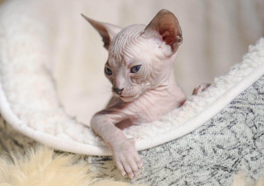 el gato sphynx o esfinge posee una belleza singular