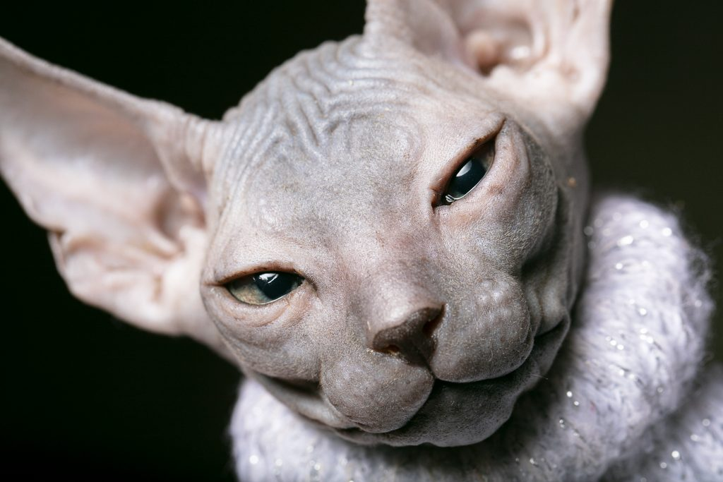el gato sphynx sí tiene pelo