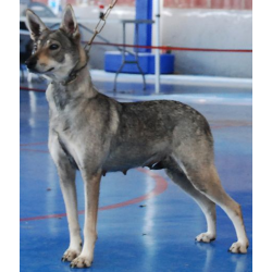 el perro lobo herreño o lobito herreño