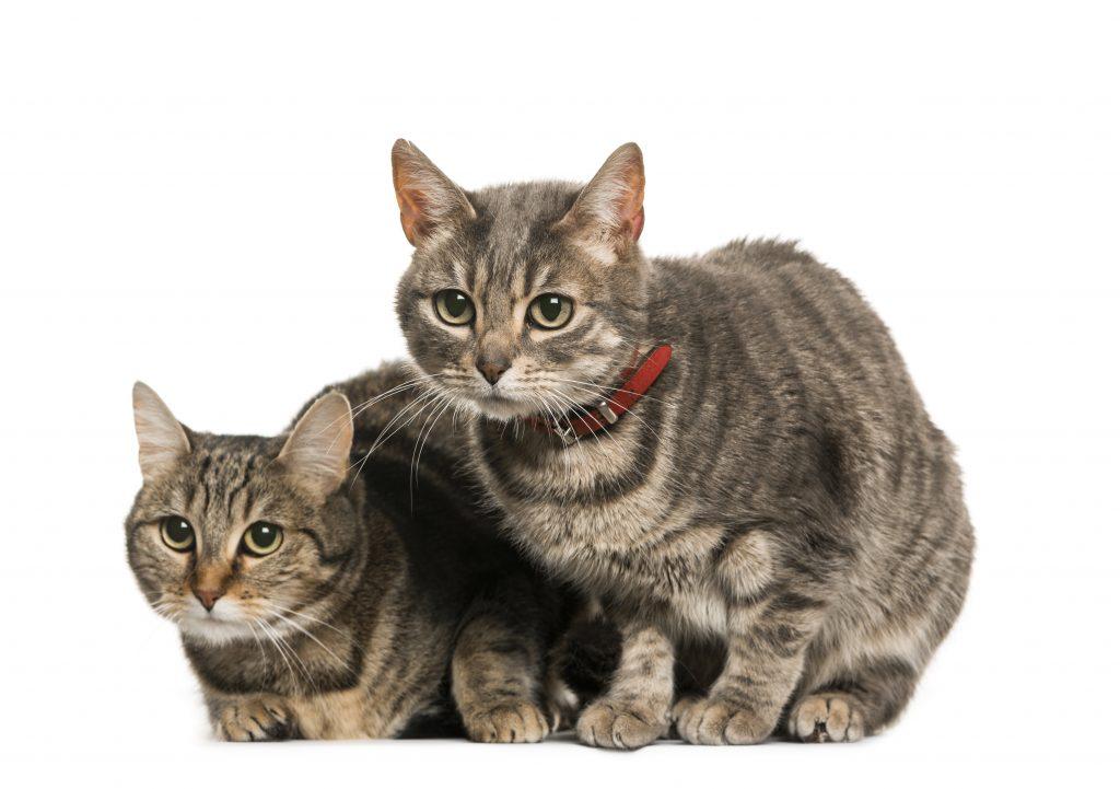 en algunas situaciones es recomendable el uso del collar para gatos
