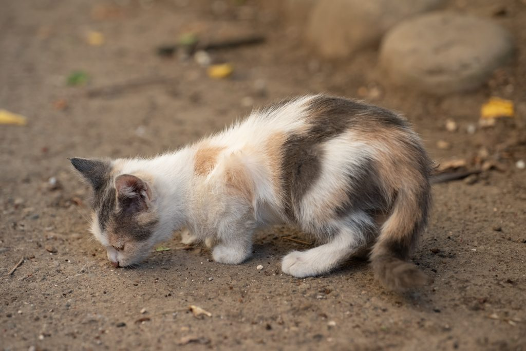 hay que impedir que el gato coma tierra