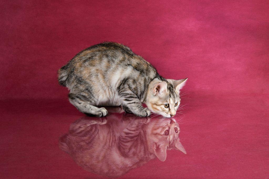 historia y características del gato Bobtail japonés