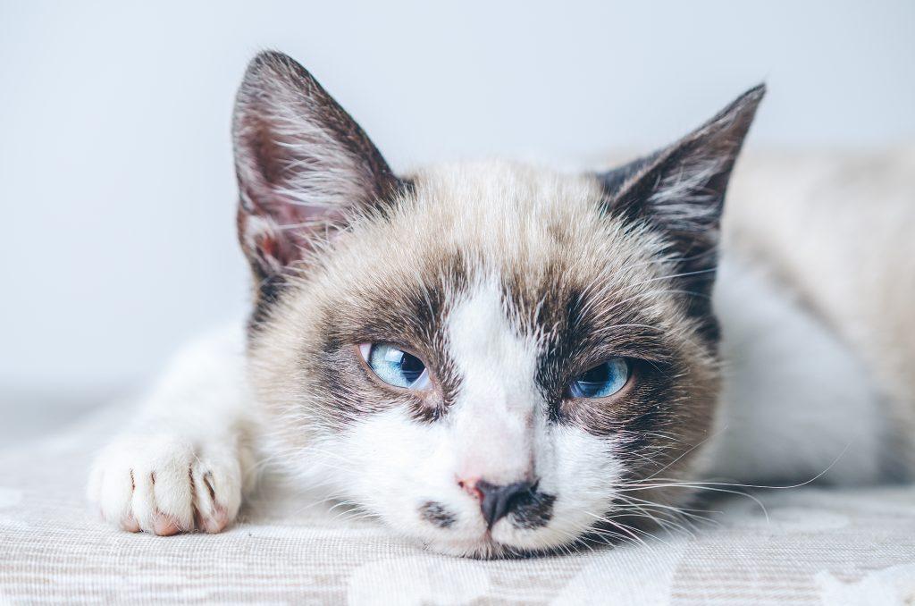 limpiar la cara a un gato empezando por los ojos
