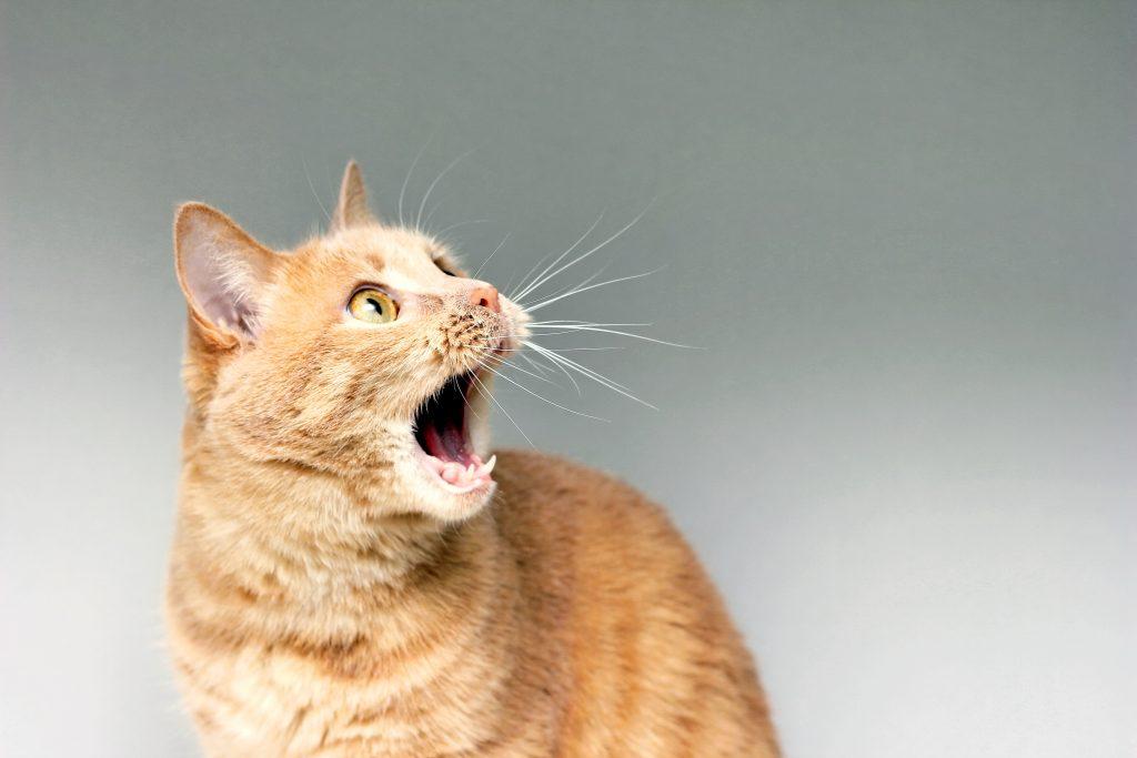 limpiar la cara a un gato incluye el limpiar su boca