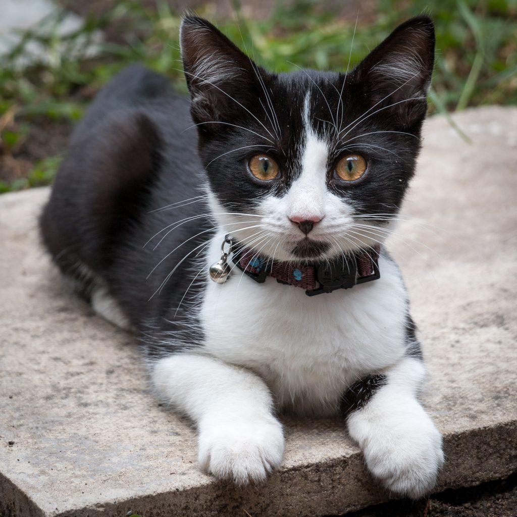 mejor que el collar para gatos no tenga cascabel