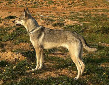 perro lobo herreño