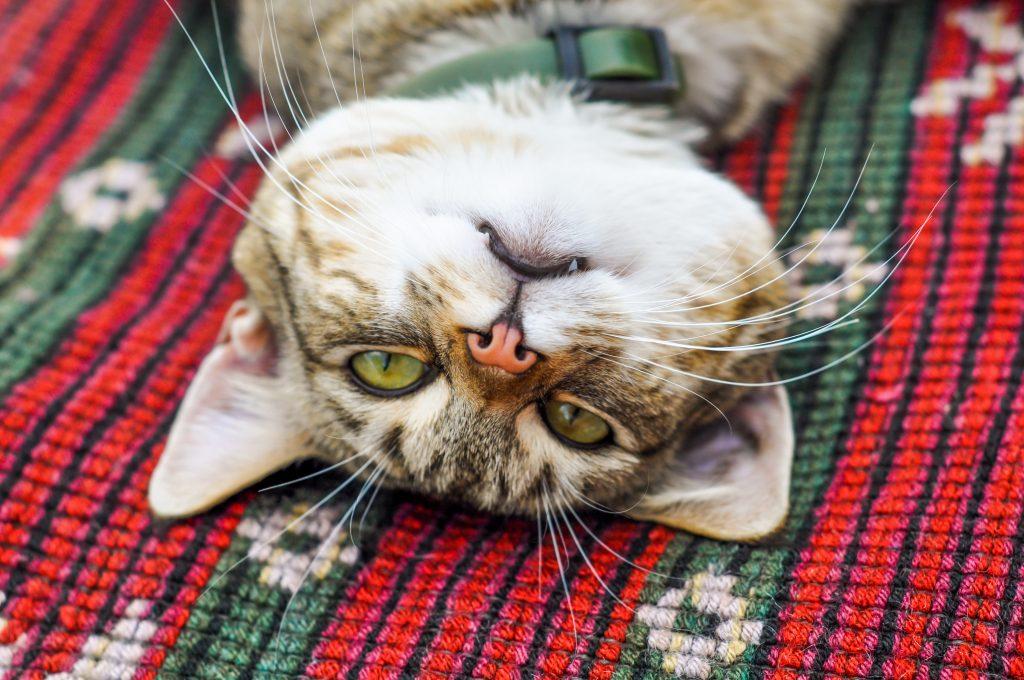 usos del collar para gatos