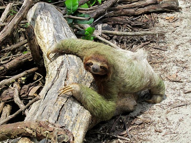 curiosidades del perezoso tienen algas en el pelo