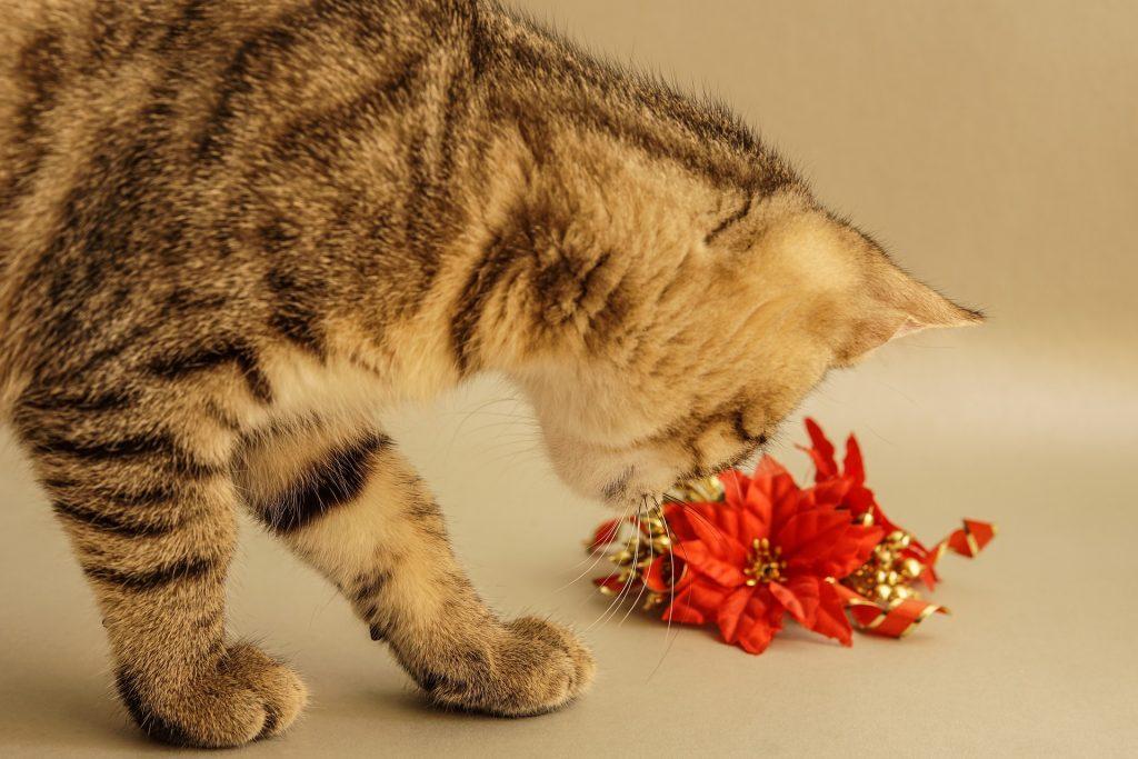 la flor de pascua es venenosa para las mascotas