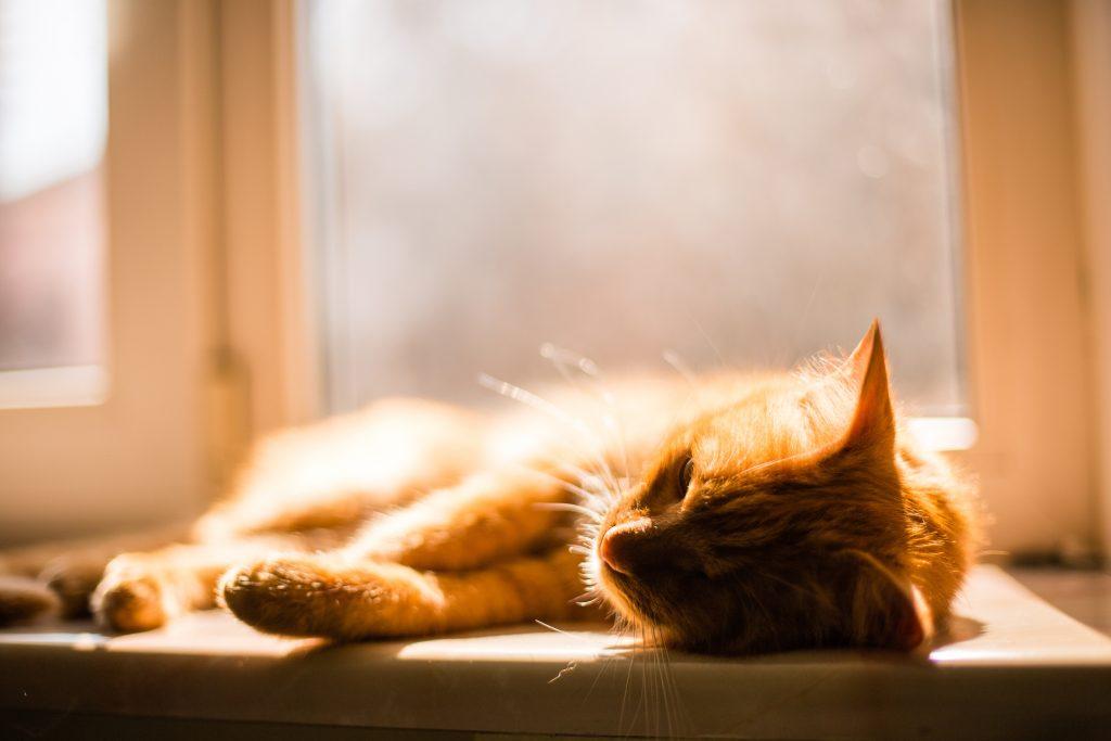 razones por las que un gato se escapa de casa