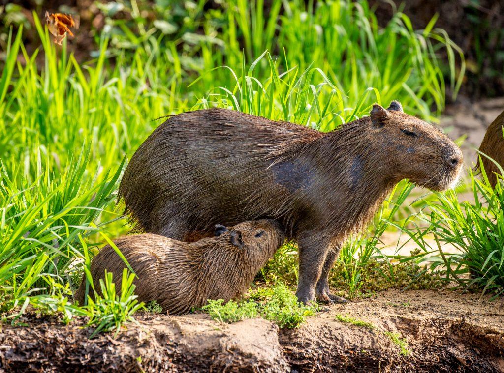 así es el capibara o carpincho