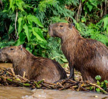 capibara roedor más grande del mundo