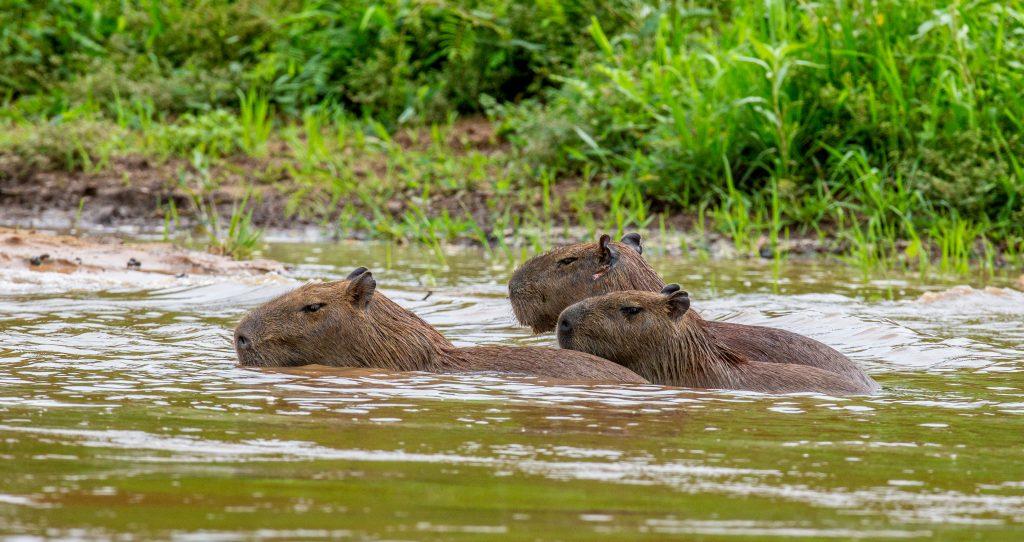 características del capibara