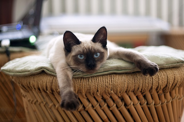 Curiosidades del gato Siamés para conocerlo mejor