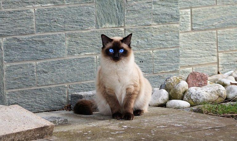 Curiosidades del gato Siamés