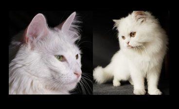 diferencias entre un gato de Angora y un gato Persa