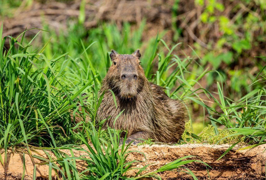 el capibara en su hábitat