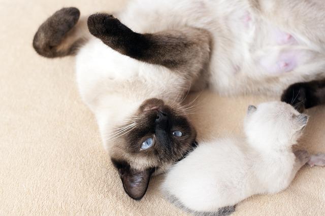 el color y la temperatura corporal curiosidades del gato siamés