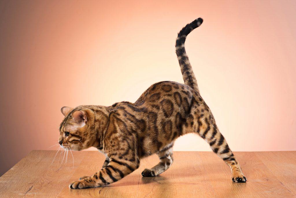 entendiendo lo que nos dice la cola de los gatos
