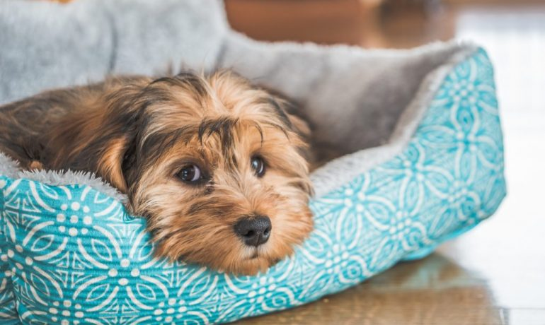 foliculitis en perros