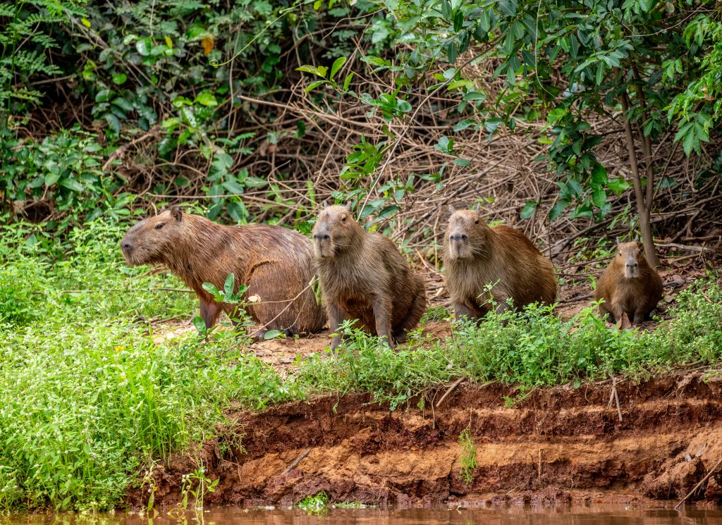grupo de capibaras o carpinchos