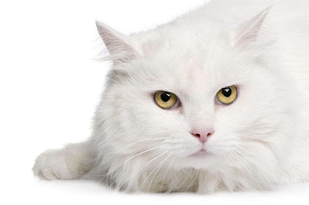 las diferencias entre el gato de Angora y el gato Persa