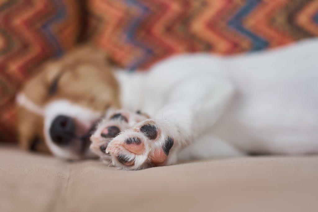 motivos por los que parece que mi perro mientras duerme